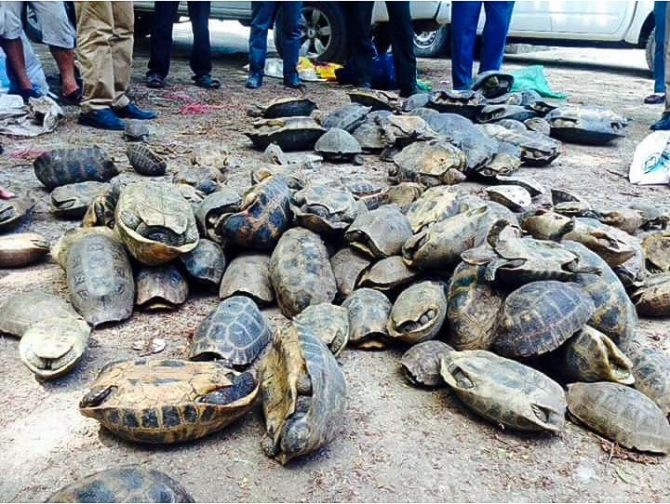 turtles_lay_on_the_ground_after_they_were_discovered_during_a_raid_last_week_in_kandal_province_04_06_2016_ann