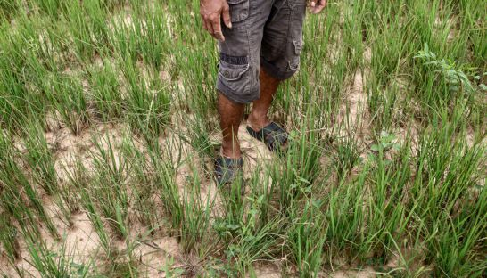 a_farmer_stands_amongst_rice_seedlings_in_his_dried_up_kampong_speu_paddy_during_rainy_season_last_year_15_09_2015_victoria_morck_madsen
