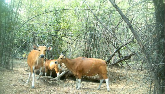 2_banteng_graze_on_forest_foliage_in_the_kingdoms_eastern_plains_in_2010_22_12_2010_wwf