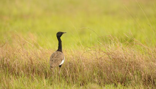 4_the_proposed_construction_of_a_power_line_across_the_tonle_sap_flood_plain_further_threatens_the_critically_endangered_bengal_florican-_over_half_of_the_global_population_may_be_put_at_risk_supplied